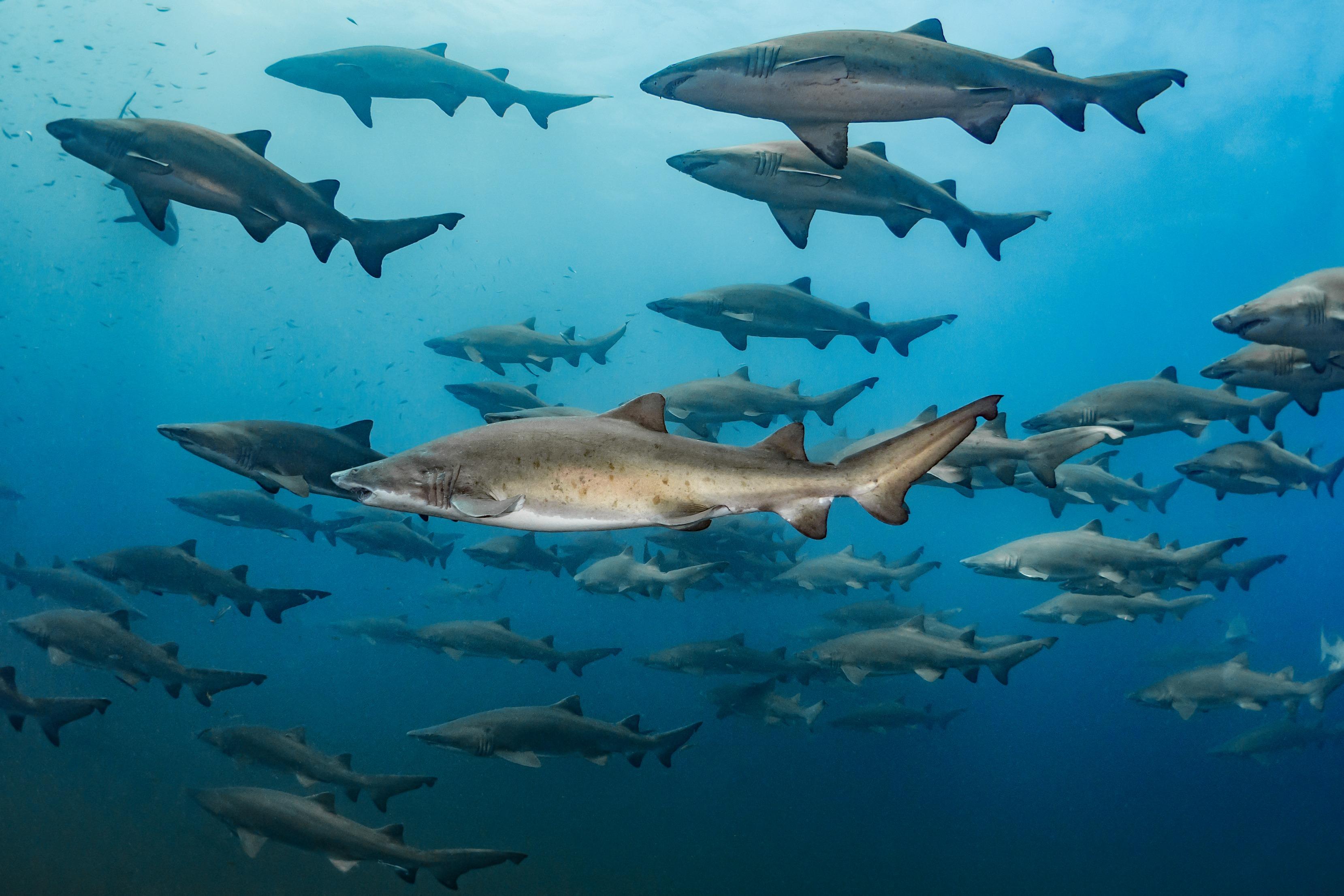 Shark Formation Tanya